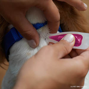 Applying applicator contents to dog's skin