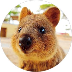 """オーストラリアのロットネスト島で""""世界一幸せな動物""""クアッカワラビーとセルフィー"""