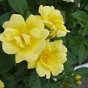 yellow;rose;flower;