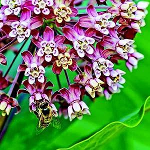 MilkweedAsclepias spp.