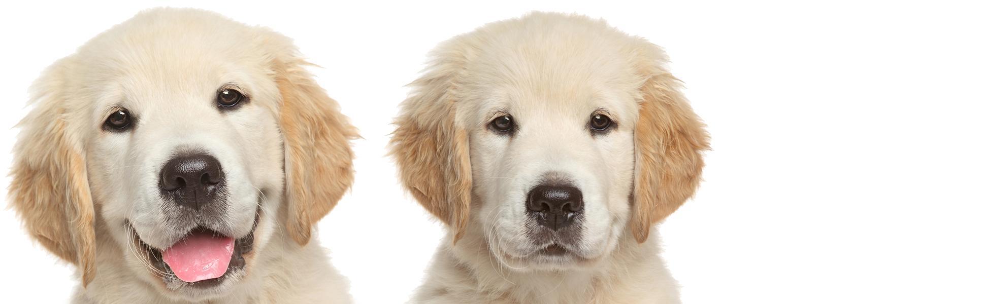 Amazon Com The Blissful Dog Golden Retriever Nose Butter 2 Ounce