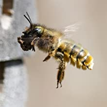 Red mason Bee female