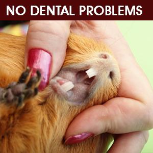 guinea pig dental problem