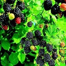 wild edibles blackberry