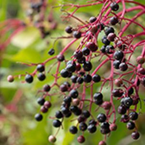 elderberry immunity vitamin C cold flu virus
