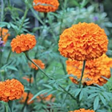 Marigolds are definitely a love-them-or-hate-them flower