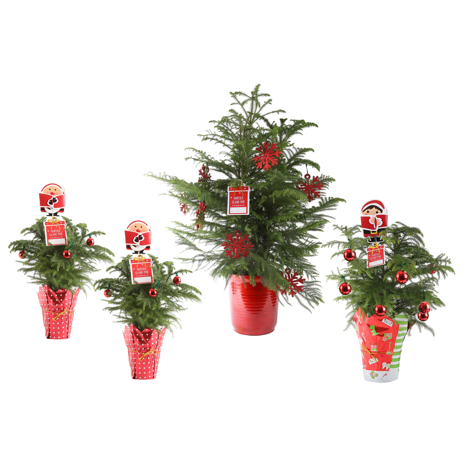 Christmas Trees Norfolk: Amazon.com : Costa Farms Live Norfolk Island Pine (Indoor