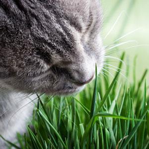cat grass, grass for cats, indoor cat grass, cat greens, catnip