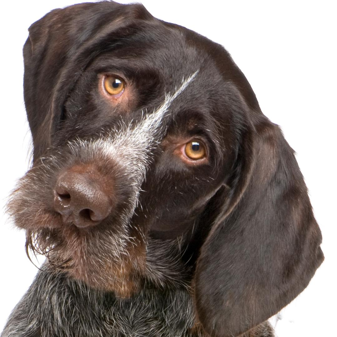 Amazon.com : The Blissful Dog German Shorthaired Pointer Relax Roll ...