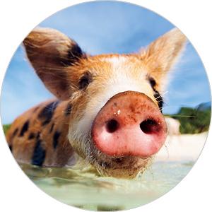 バハマ諸島の無人島でカリブ海を泳ぐブタと触れ合う