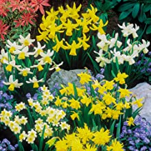 daffodil, narcissi, bulb