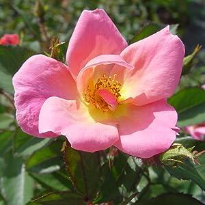rose;flower;pink;
