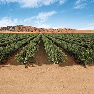 pistachio field