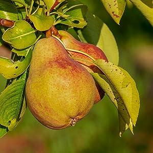 Bartlett Pear Ripe Fruit Tree
