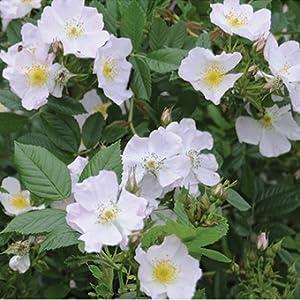ames climber rose
