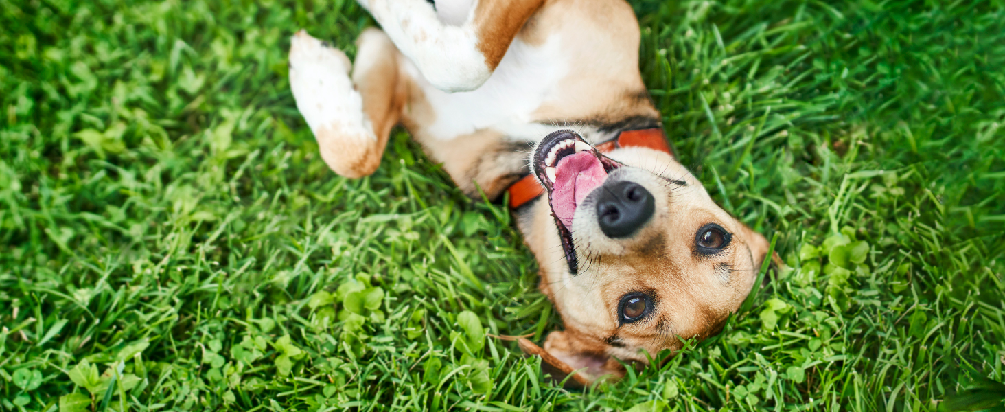 A cute dog happily laying on its back in the grass