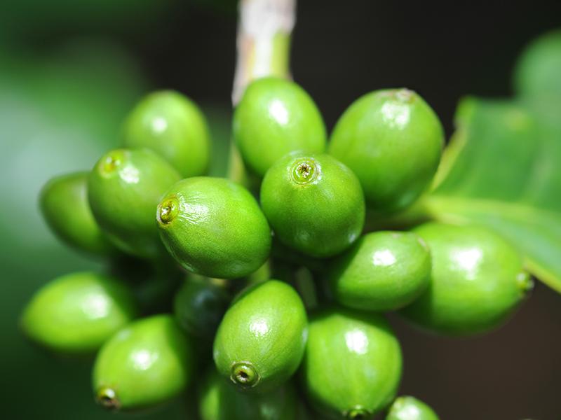 el grano de café verde realmente funciona para la pérdida de peso
