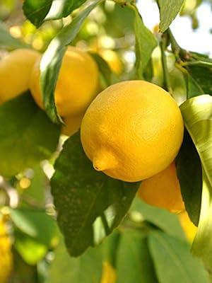 YouGarden Citrus Lemon Tree