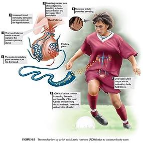 physiology, sport, exercise, adh, antidiuretic hormone