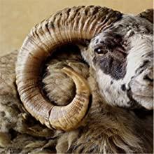 Genuine Rams Horn