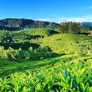 Nature's Guru, chai tea latte, coffee beans, coffee maker, coffee plant, coffee cup, teavana, teapot