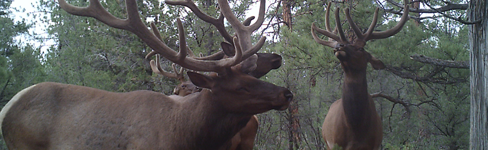 NA Elk