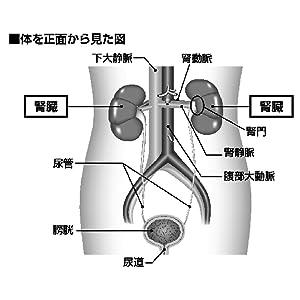 腎臓は、地味で無口な臓器