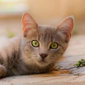 El 33 % de los gatos se perderá al menos una vez en su vida