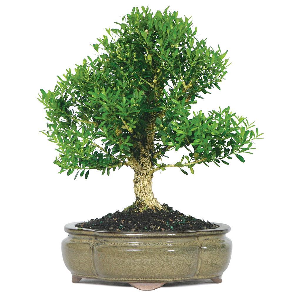 Amazon bonsai precios