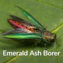emerald ash borer tree killer protection bayer advanced bioadvanced