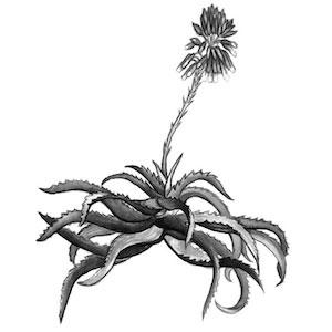 Aloe, Jewish herbalism, herbalism books, herbalism, herbalist, Jewish herbalism, herbal tradition