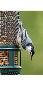 peanut feeder, nuthatch