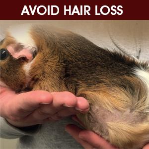 guinea pig hair loss