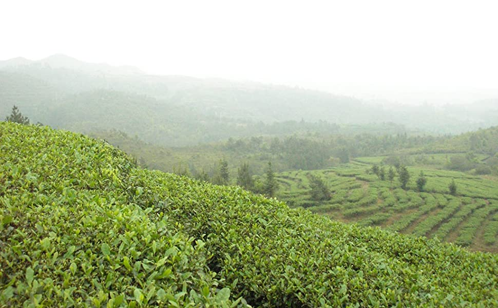 Tea Green Dragon Oolong