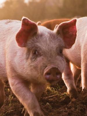 happy pig piggy piggies pork fried bacon rinds skins lard keto paleo akins organic 4505 meats