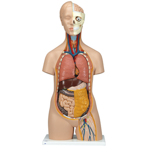 medical education torso unisex classic hand painted human model