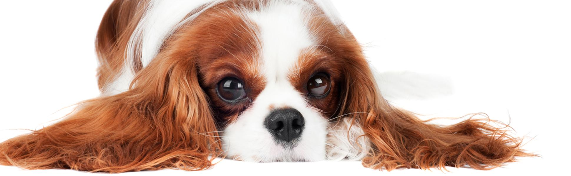 Image of: Milton Cavalier King Charles Spaniel Emotionalsupportdogcom Amazoncom The Blissful Dog Cavalier King Charles Spaniel Relax
