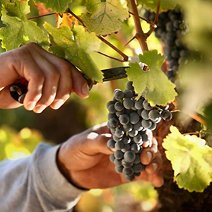 7年の月日を重ね、成熟したブドウを収穫
