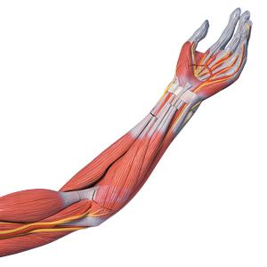 3B Scientific M11 6 Part Life Size Deluxe Muscle Arm Model, 27.6 ...