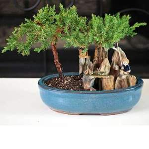 Amazon Com 9greenbox Juniper Tree Bonsai With Poll And Fisherman Grocery Gourmet Food