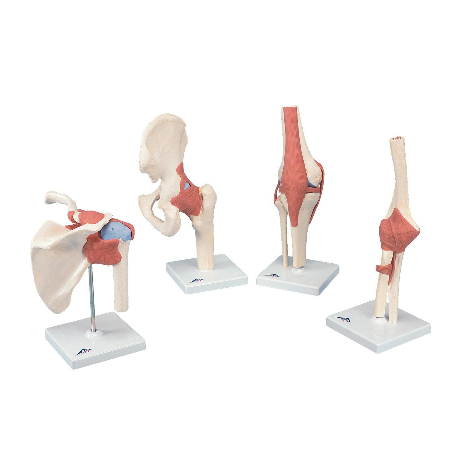 3B Scientific A83/1 Deluxe Functional Elbow Joint Model, 13\