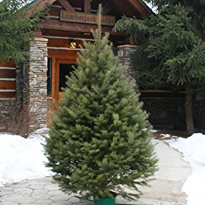 Hallmark 6-7' Douglas Fir Christmas Tree