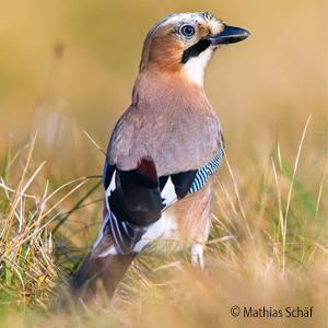 Vögel und vogelstimmen kennenlernen mit kosmos
