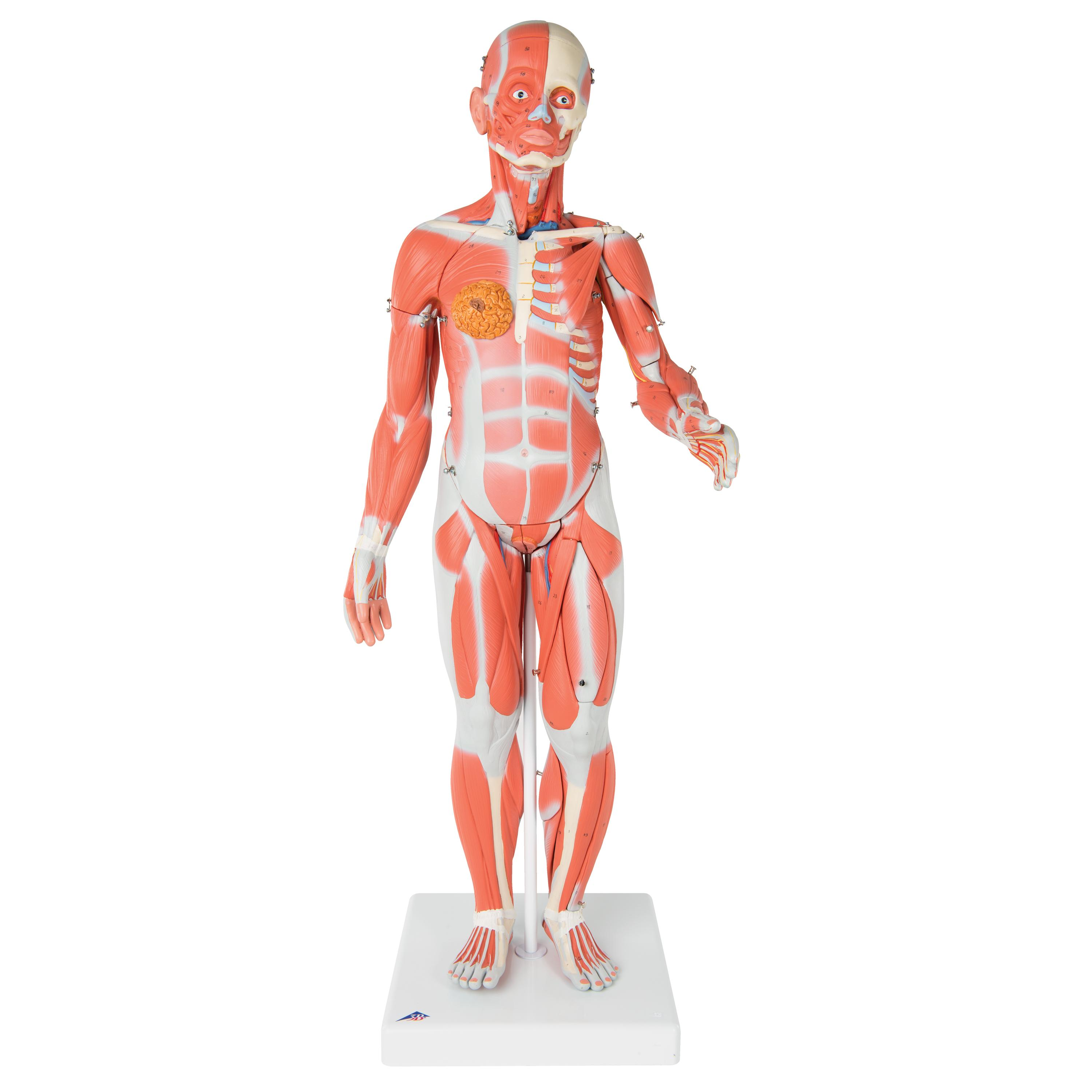 3b Scientific B59 2 Parts One Fourth Of Life Size Muscle Figure