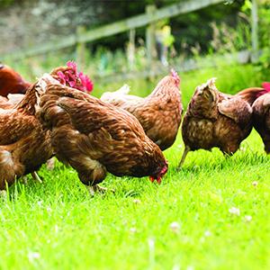 poultry aplus