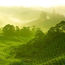 Vast tea gardens
