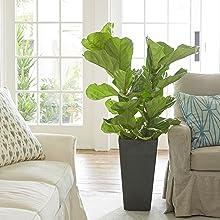 Ficus Lyrata Living Room