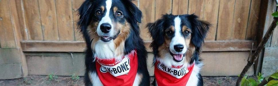 Two well-nourished Australian Shepherds wearing Milk-Bone Bandana