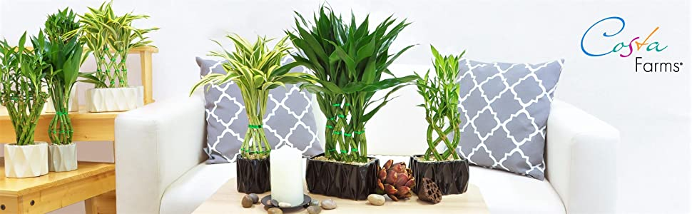 Costa Farms Medium Lucky Bamboo Live Indoor Tabletop Plant in Modern Home  Decor 5-Inch White Ceramic Planter