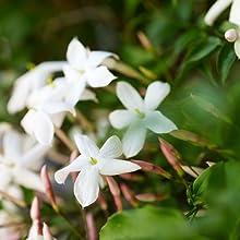 jasmine green tea bags numi organic flower blossom scented chinese taylors of harrogate choice